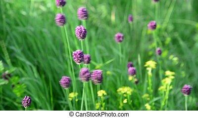 Wild garlic swaying in breeze