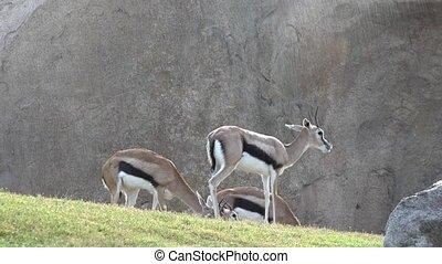 Wild Gazelles Or Wildlife