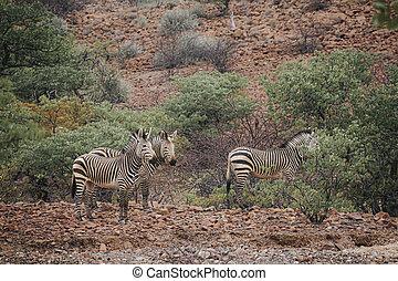 wild, gebiet, zebra, nambia, kunene