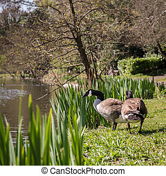 Wild geese by the lake on sunny day