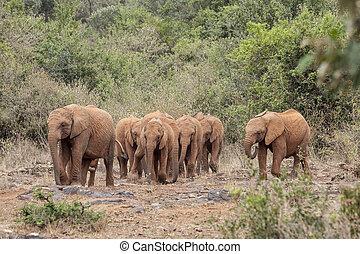 wild, gehen, herde, elefanten