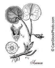 Wild Ginger or Asarum ,botanical vintage engraving - Vintage...