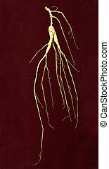 ginseng root - wild ginseng root on deep red background