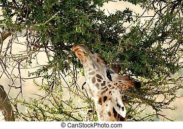 wild, giraffe