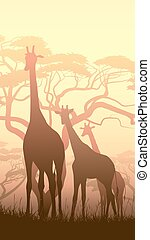 Wild giraffes in African sunset.