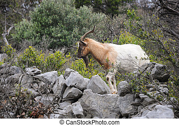 Wild goat standing in dry vegetation on the island Cres (...