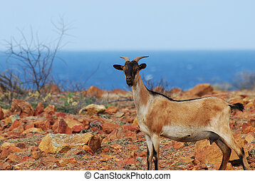 Wild Goat Standing on a Cliff in Aruba