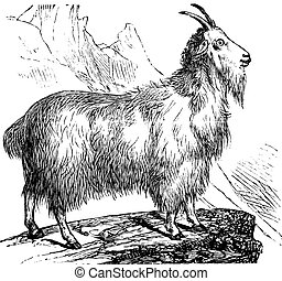 Wild Goat vintage engraving - Wild Goat or Capra aegagrus,...