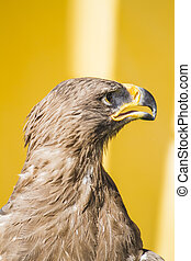 wild, golden eagle, detail of head with large eyes, pointed beak