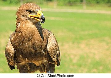 wild golden eagle