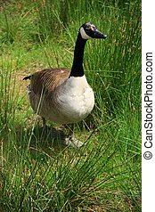 Wild goose in a meadow
