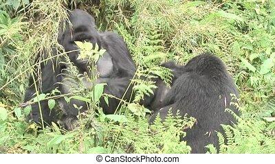 Wild Gorilla animal Rwanda Africa tropical Forest - Rwanda...