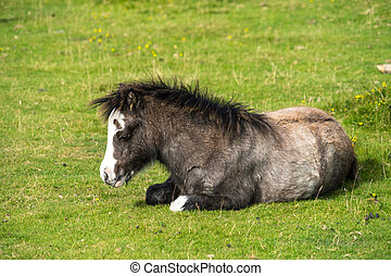 Bay wild pony foal (Equus caballus) dozing on a warm day, lit by low morning sun. Gower Peninsula, South Wales, UK