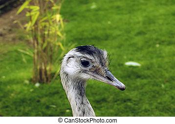 wild, größer, rhea, (rhea, americana), bekannt, als, grau,...