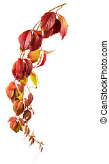Wild grape autumn branch isolated on white background