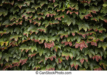 wild grape green wall background horizontal image
