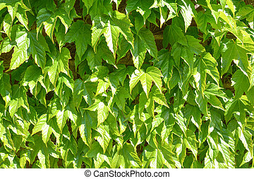 wild grape green wall - ivy wild grape green wall background...
