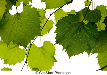 wild grape leaves green background