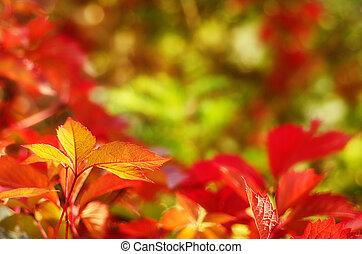 Wild grape leaves