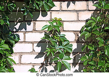wild grape on brick wall