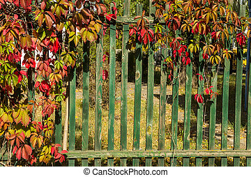 Wild grape vines on a green wooden fence on autumn