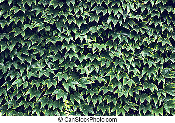 wild grapes. Green leaves of ivy on a wall closeup.