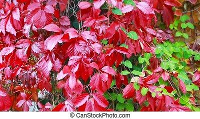 wild grapes in autumn in the sun in alcove