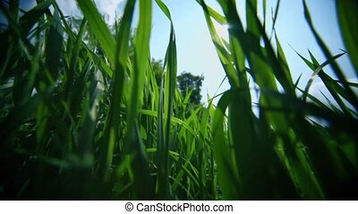 Wild grass and nettle under blue sky with clouds, closeup...