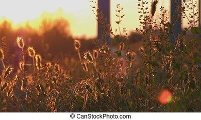 Wild grass backlit tilt shot - Wild grass backlit closeup...
