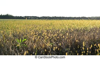 Wild grass field at sunset in August - A Wild grass field at...