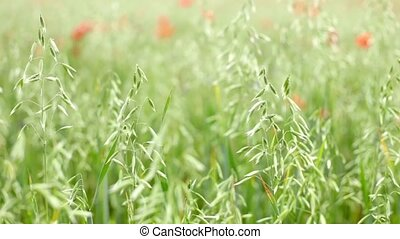 Wild grass field. - Wild grass field with de-focused...