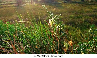 Grass shivering on wind backlit - Wild Grass shivering on...