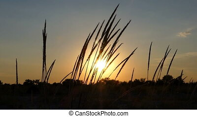 Wild grass spikelets cover the field at sunset