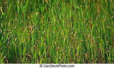 Wild grass spikelets slow moving on wind tilt shot - Wild...
