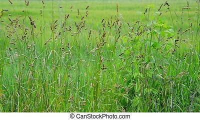 Wild grass swaying in wind, Russia - wild grass swaying in...