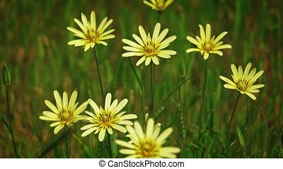 Wild grass with many yellow flowers sways on wind tilt shot in slow motion