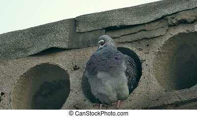 wild gray pigeon bird sitting in concrete slab looks - wild...