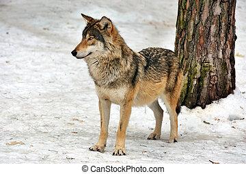 wild gray wolf in winter forest