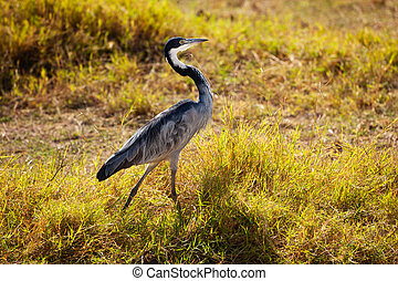 Wild Great Blue Heron or Ardea Herodias in Kenya - Walking ...