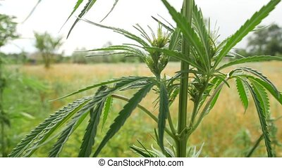 Wild green bushes of young cannabis marijuana, sprouted in...