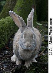 Wild grey long-eared rabbit in woods in autumn