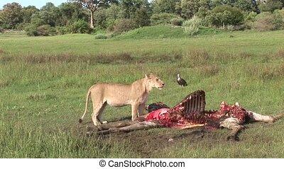 Wild Griffon Vulture and Lion eating Giraffe Africa savannah...