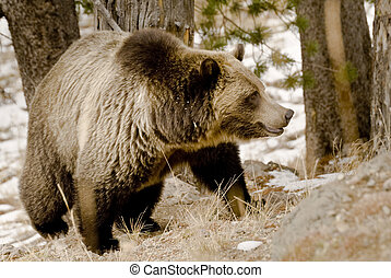 Wild Grizzly Bear Close Up