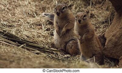 Wild Ground Squirrel near his hole. FullHD 1080p video
