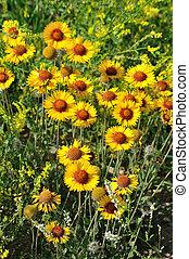 WILD GROWING SUNFLOWERS ALBERTA CANADA