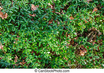 Wild growing vinca on glade in morning autumn forest
