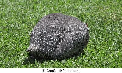 Wild guinea hen on a green grass,