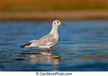 Wild gull of interior in the water