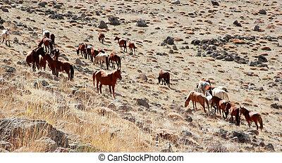 wild hästar
