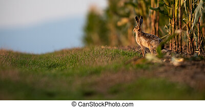 Wild hare (lepus europaeus) - Lonely wild brown hare lit by ...